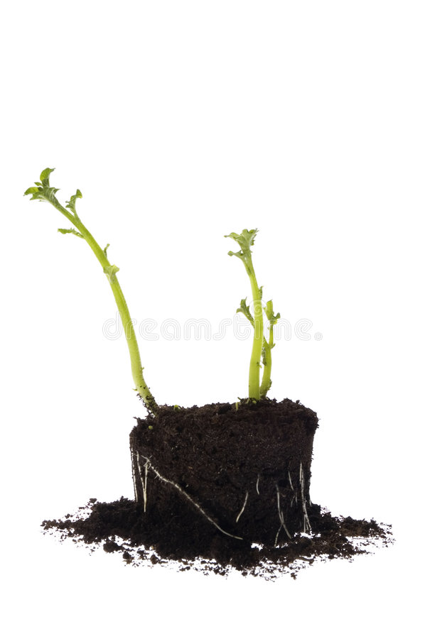 Free Growing Potato. Baby Plant Royalty Free Stock Photos - 3226048