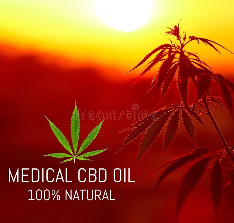 Growing premium medical cannabis, CBD oil hemp products. Natural marijuana. Cannabis recipe for personal use, legal light drugs. Prescribe, alternative remedy stock photography