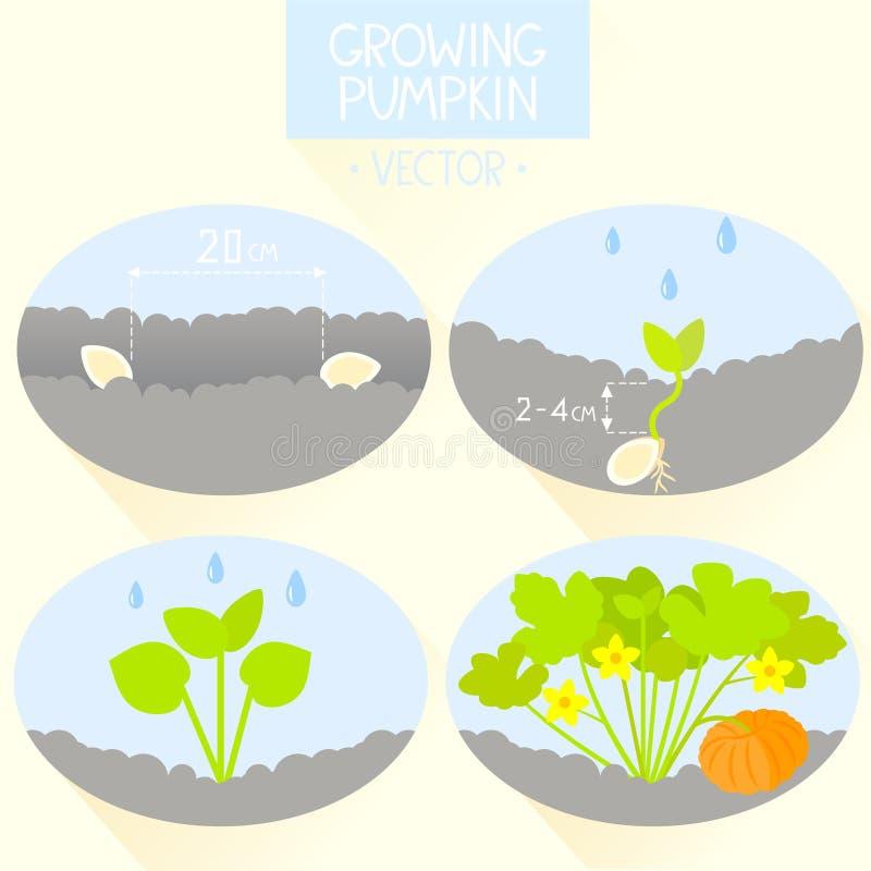 Pumpkin  Growing Pumpkin From Roots Underground Stock