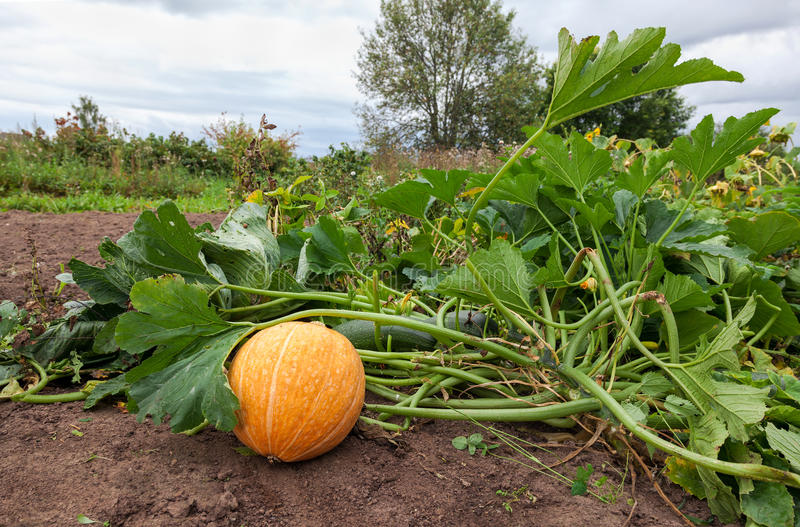 Download Growing pumpkins stock image. Image of landscape, autumn - 33627929
