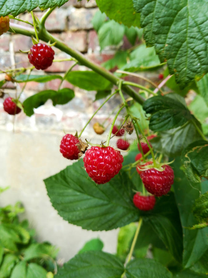 Growing raspberries stock photos