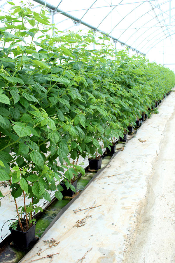 Growing raspberry in hydroponic plantation. Growing raspberrys in hydroponic plantation royalty free stock image