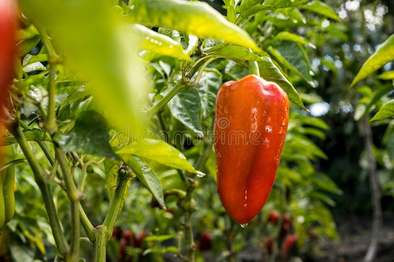 Growing the red peppers capsicum in vegetable garden stock photography