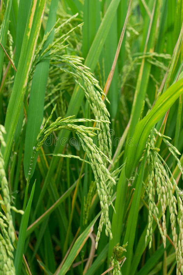 Download Growing rice stock photo. Image of flooded, grow, foliage - 20565112