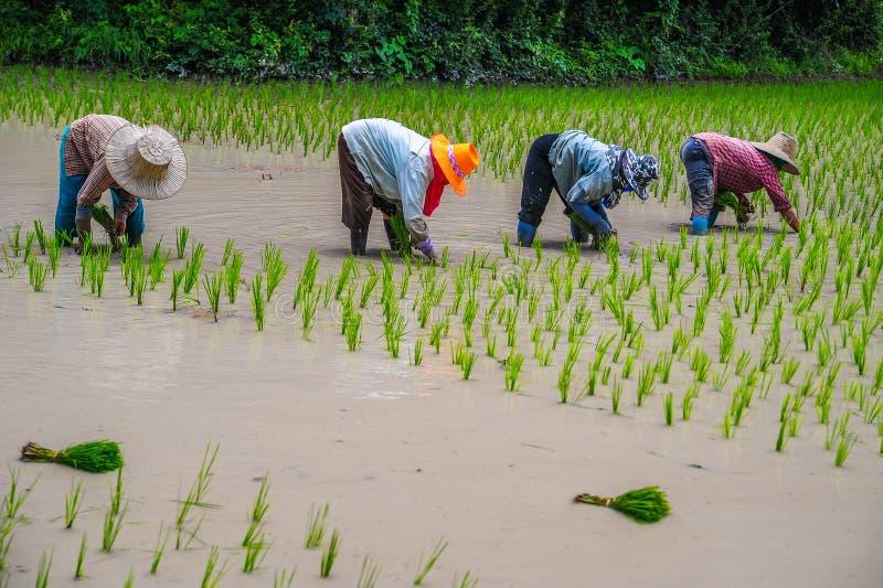 Growing rice stock photos