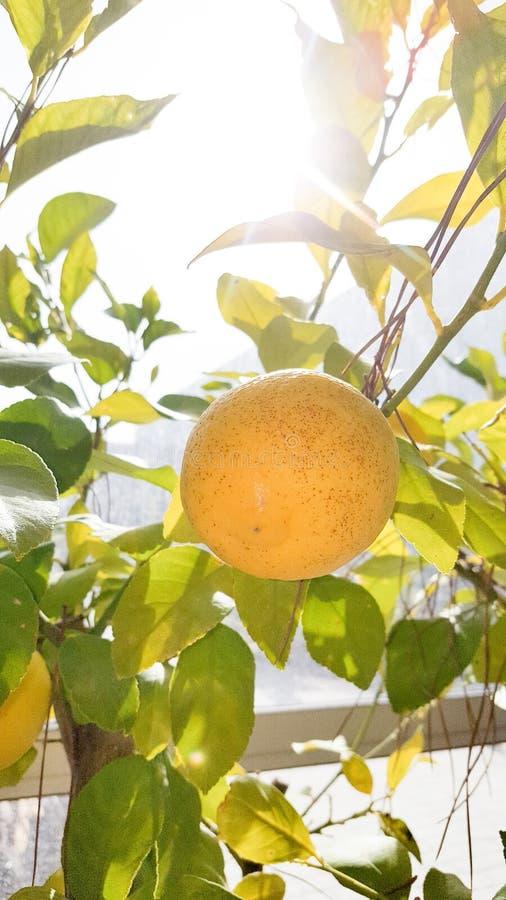Growing Ripe Lemons Hanging on a Lemon tree closeup royalty free stock photography
