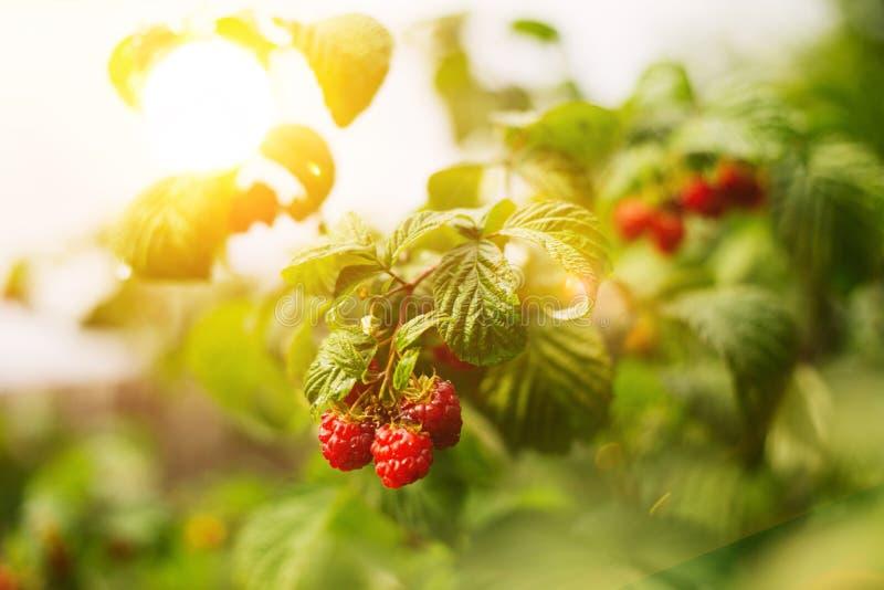 Growing ripe of raspberries royalty free stock image