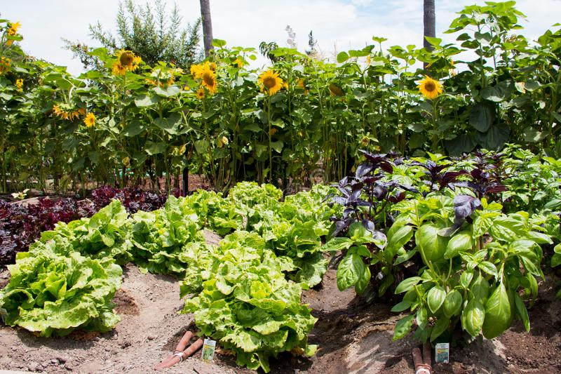Growing rows of organic basil, lettuce, red lettuce and sunflowers in the home garden. Growing rows of organic basil, lettuce, red lettuce and sunflowers royalty free stock photo