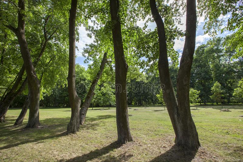 Rows of trees. Growing in the rows of trees photographed in the summer in the park. close-up stock images