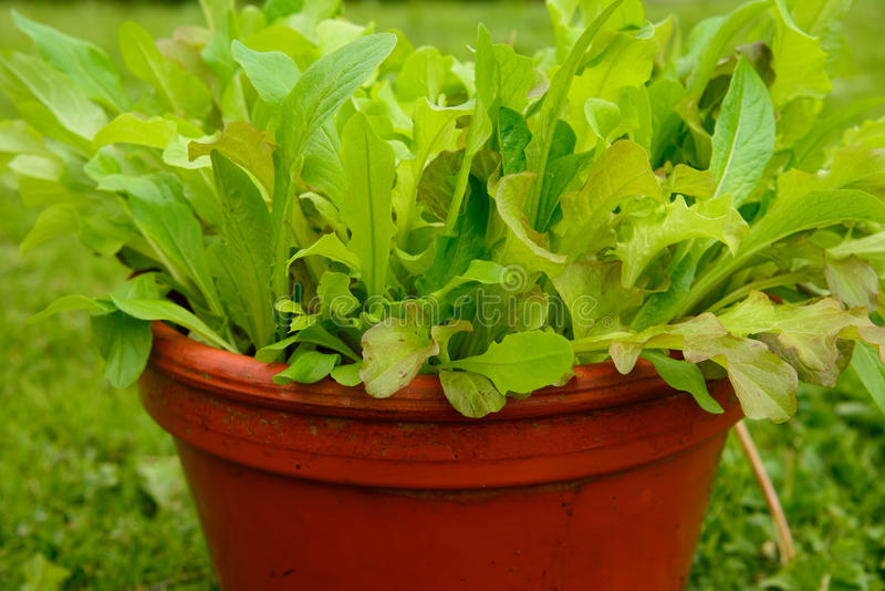 Growing Salad In A Pot Royalty Free Stock Image