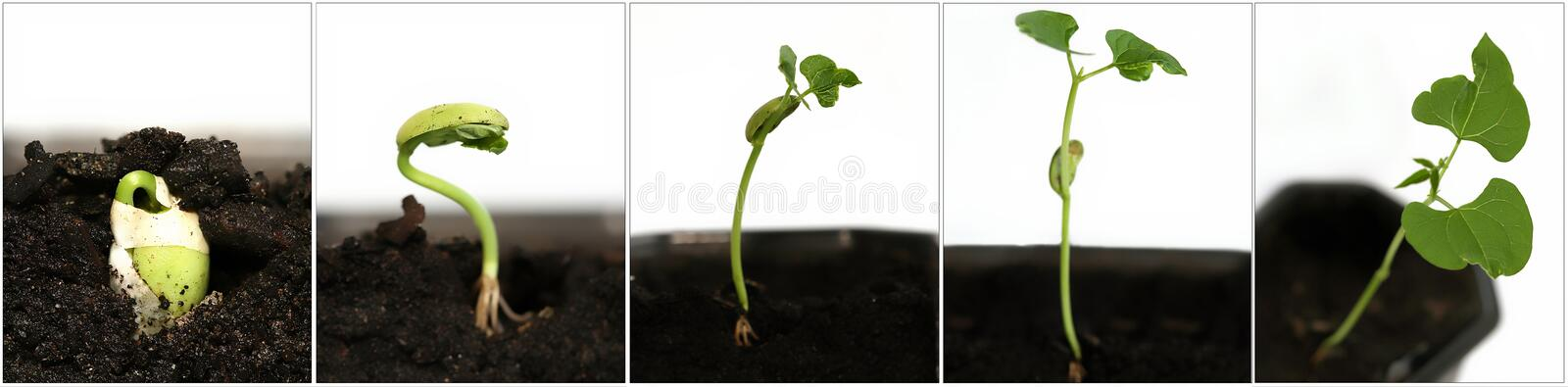 Growing seed royalty free stock photos