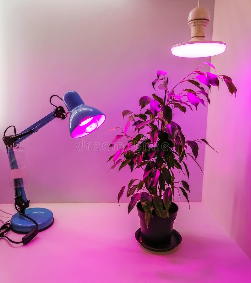 Growing seedlings at home and pink LED phyto-lighting lamps for plants. A special continuation of daylight.Growing vegetables. Growing seedlings at home and pink royalty free stock photo