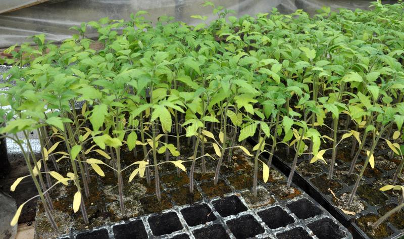 Growing seedlings of tomatoes in plastic pots and cassettes royalty free stock photography
