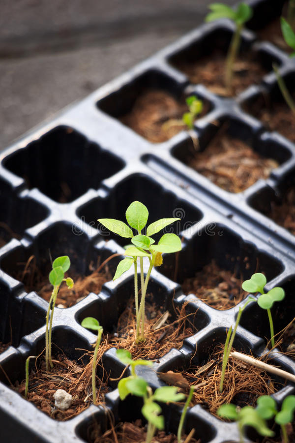 Growing. Single perfect young plant among others growing from flowers bed royalty free stock image
