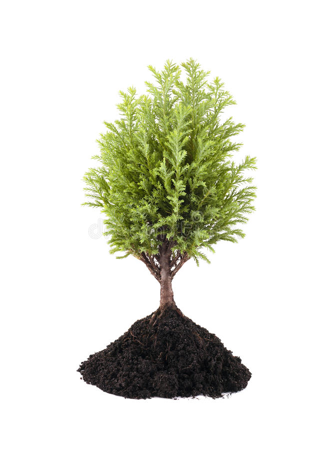 Growing small green tree. Isolated on white background royalty free stock images