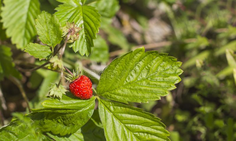 Growing small strawberries in the home garden stock photos