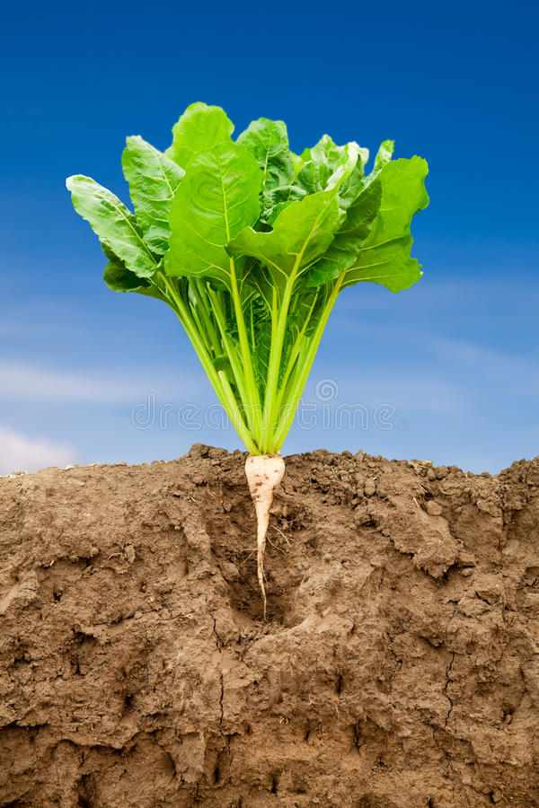 Growing sugar beet. Soil cross section of a growing sugar beet to show soil and root system below ground royalty free stock images
