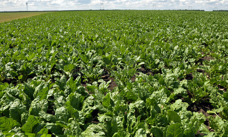 In the growing sugar beets stock photography