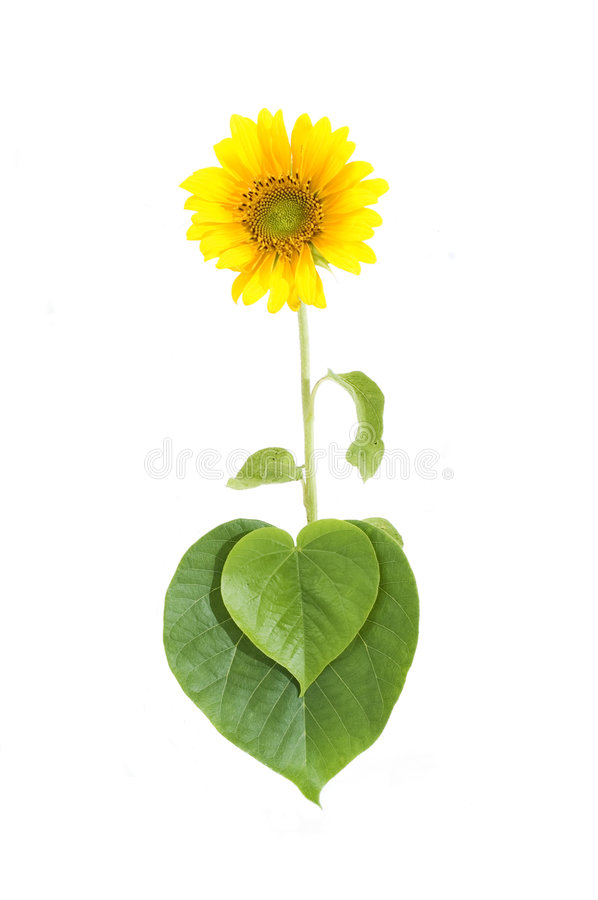 Growing sunflower. Isolated sunflower growing from a heart shaped leaf stock image