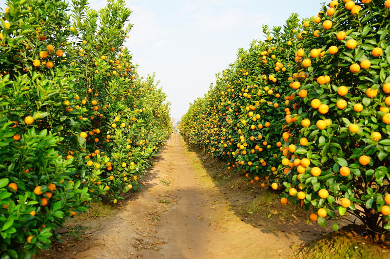 Download Growing Tangerines stock photo. Image of green, leaf - 83701980