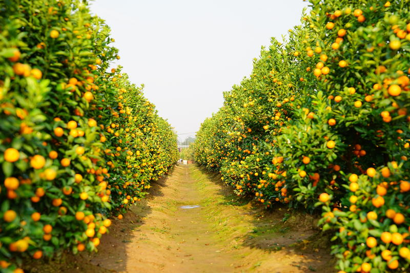 Download Growing Tangerines Stock Photo - Image: 83702155