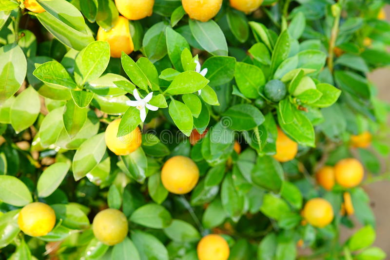 Download Growing Tangerines stock photo. Image of food, flower - 83702412