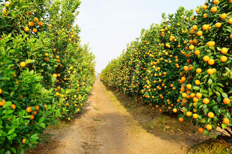 Download Growing Tangerines stock image. Image of hanoi, freshness - 83703025