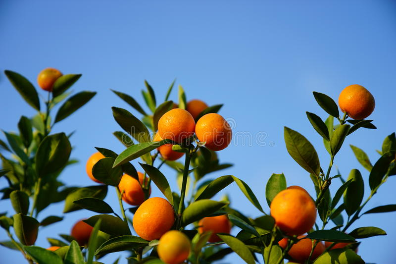 Download Growing Tangerines stock photo. Image of crop, agriculture - 83703084