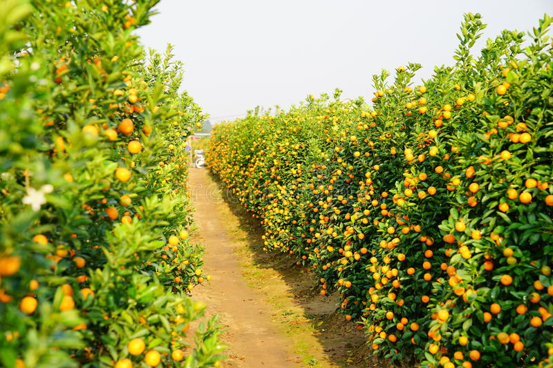 Download Growing Tangerines stock photo. Image of loneliness, fruit - 83703144