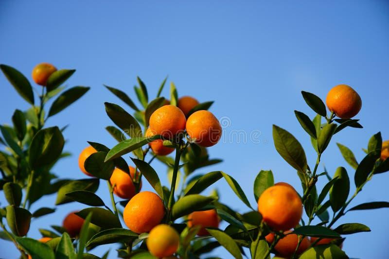 Download Growing Tangerines Stock Photo - Image: 83703221