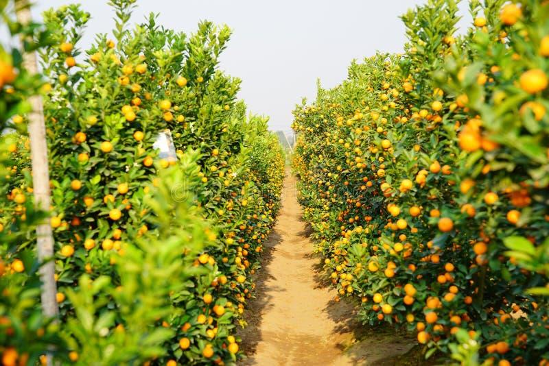Download Growing Tangerines Stock Photo - Image: 83703534