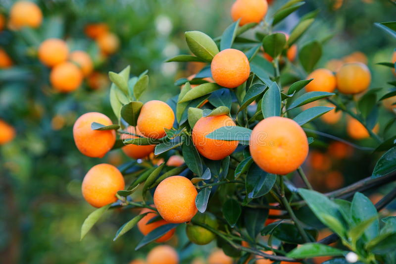 Download Growing Tangerines stock photo. Image of drop, colored - 83703658