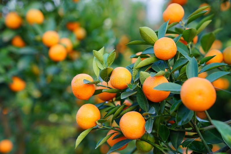 Download Growing Tangerines Stock Photo - Image: 83703676