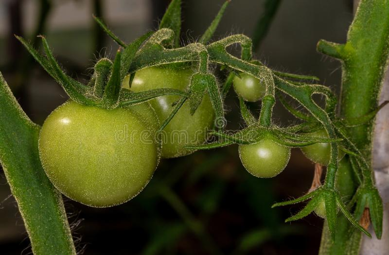 Growing tomato. Green tomato. Immature tomato. The ovary of tomato. Tomato`s in the greenhouse stock images