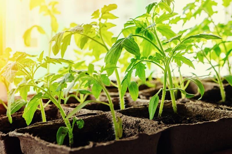 Growing tomato seedlings on the windowsill in peat pots.  stock image