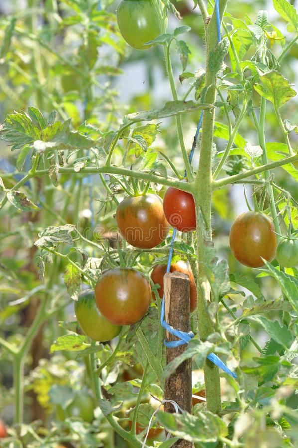 Growing tomatoes in greenhouse stock photo
