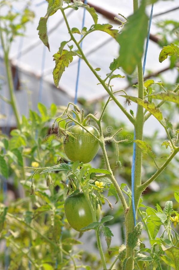 Growing tomatoes in greenhouse royalty free stock photography