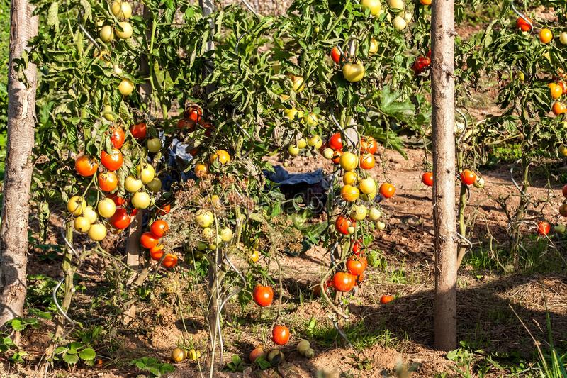 Growing tomatoes on organic farm. Ecological agriculture. Homemade vegetables. Bushes of tomatoes royalty free stock images