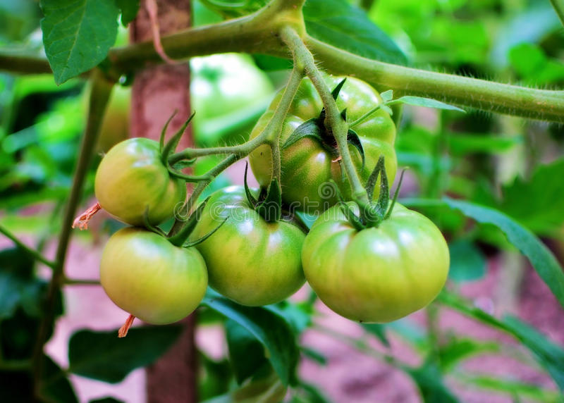 Growing tomatoes stock photo