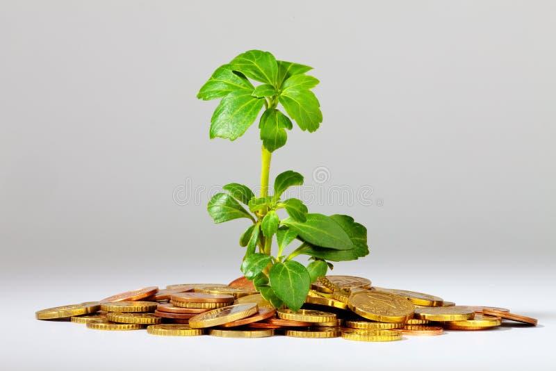 Growing Money Plant