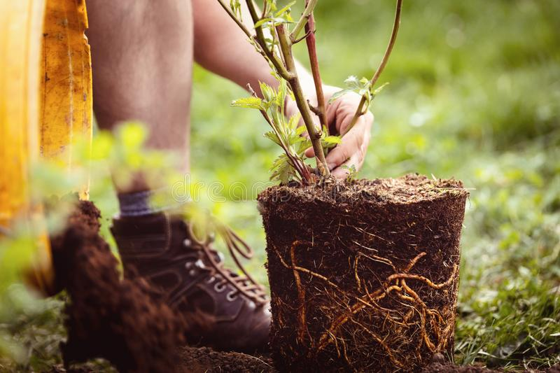 Growing up a blackberry pot plant into the garden, gardening and planting. Man is growing up a blackberry pot plant into the garden, gardening and planting stock images