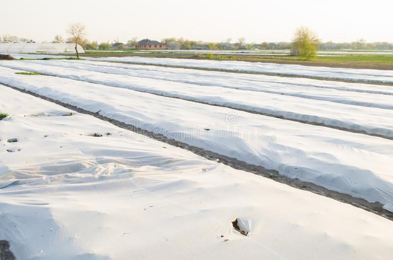 Growing vegetable in the field. Small greenhouses. Damaged spunbond. Disaster: tornado, hurricane. Harm to agriculture. Frost stock photos