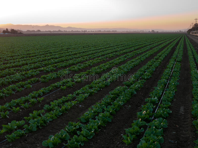 Download Growing Vegetables In California Stock Photo - Image: 34549620