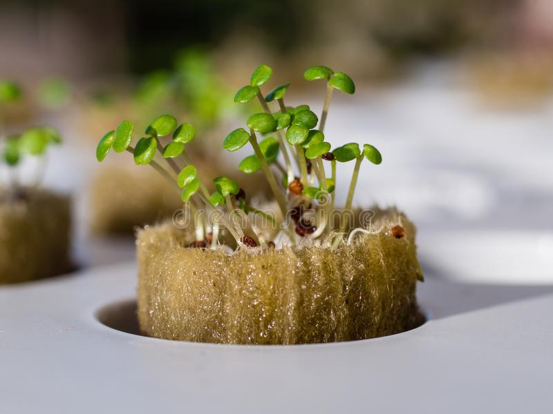 Growing watercress and herbs in hydroponic system royalty free stock photo