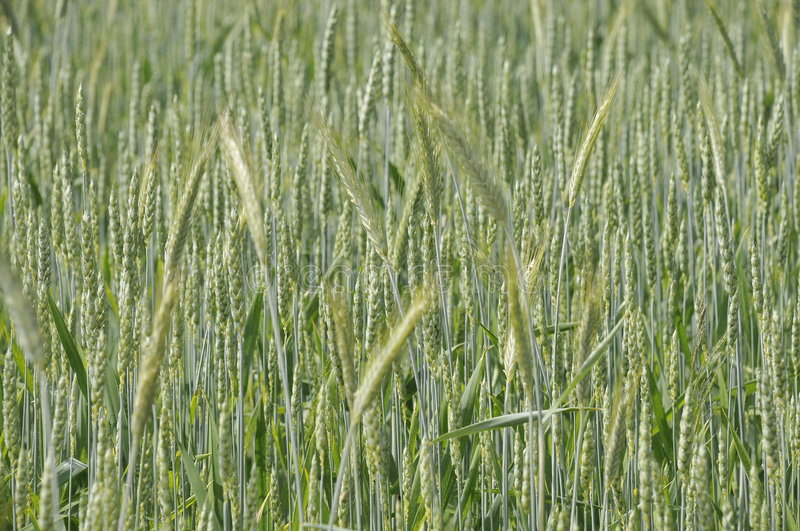 Growing Wheat stock photography