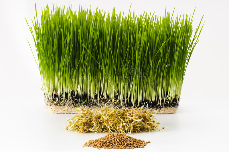 Growing wheatgrass. Three stages of wheatgrass plants including wheat berries, wheat sprouts, and wheatgrass stock photography