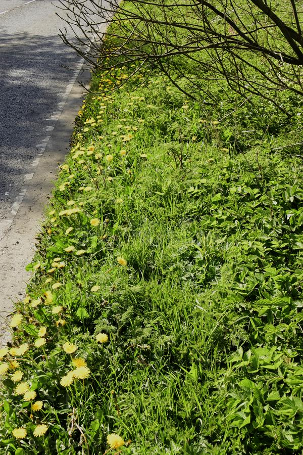 Dandelions Gen; Taraxacum. Growing wild and flowering on this roadway grass verge here in the countryside of Southern England stock photo