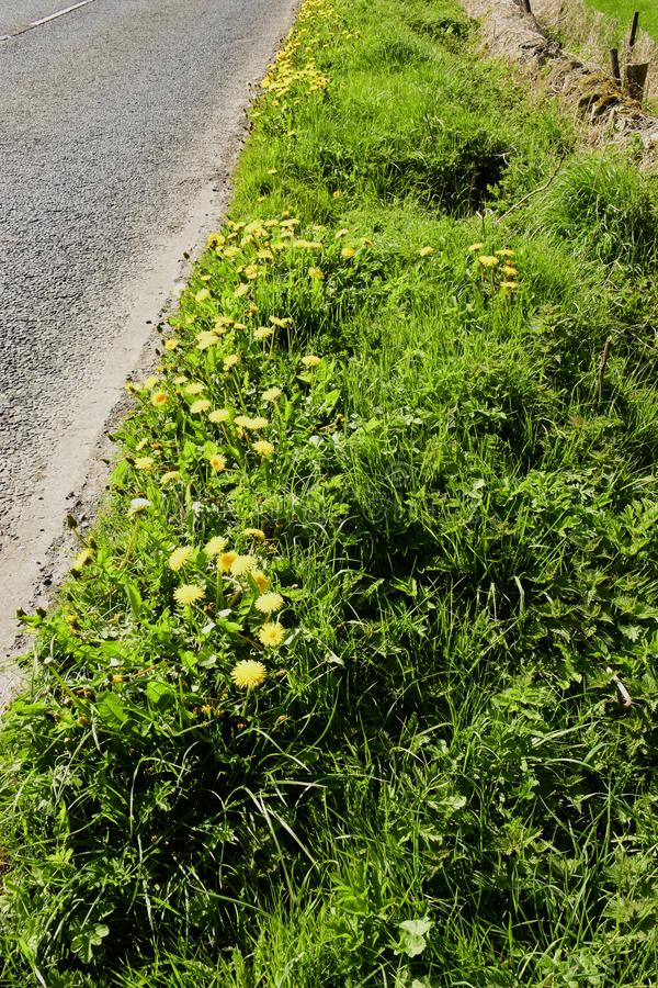 Dandelions Gen; Taraxacum. Growing wild and flowering on this roadway grass verge here in the countryside of Southern England stock photos
