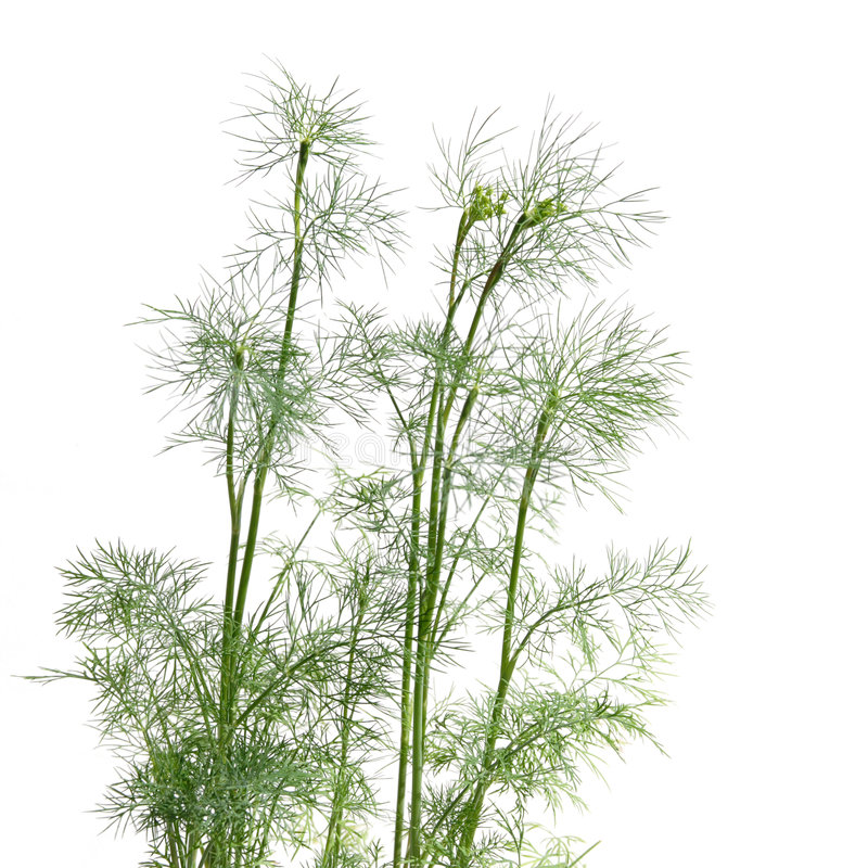 Growing young dill. Isolated on white stock photo