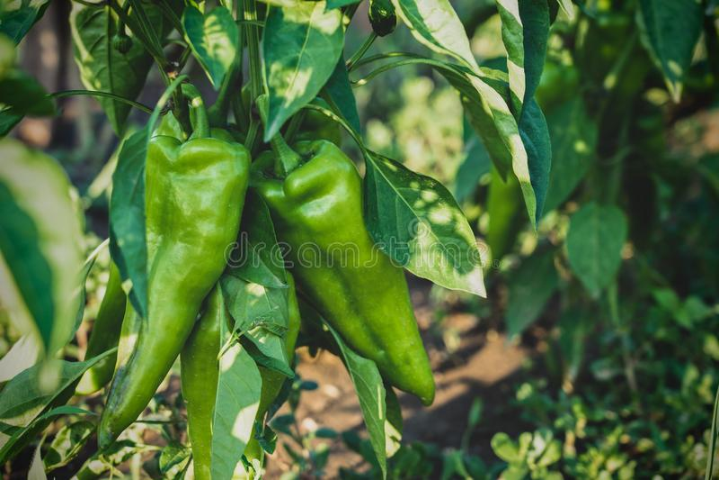 Growith caldo della pianta della paprica del peperoncino verde nell'azienda agricola del giardino fotografie stock